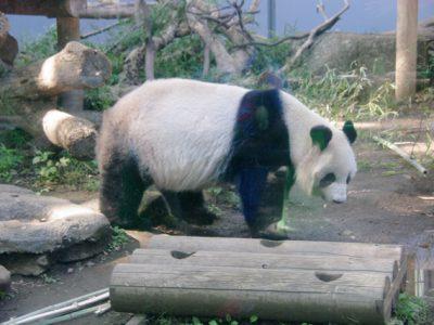 上野動物園にパンダの赤ちゃんシャンシャンを見に行きました。混雑の様子は?